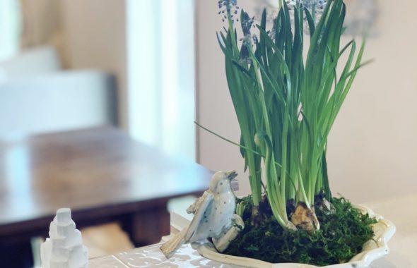 春のお花はムスカリ